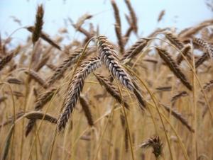 champ blé mésolithique prehistoire alimentation cereales sedentarisation