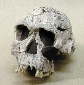 Reconstitution d'un crâne d'Homo habilis