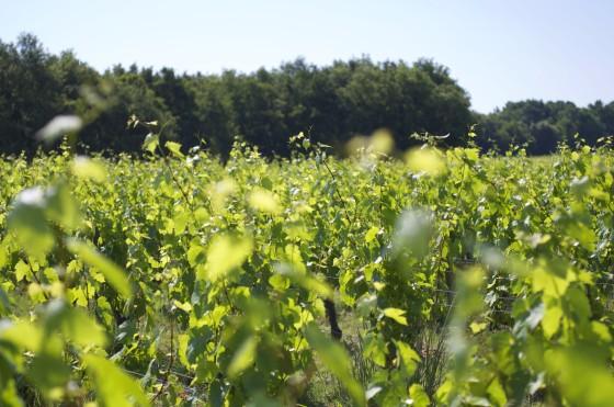 vigne val de loire pour l'appellation aoc touraine chenonceaux